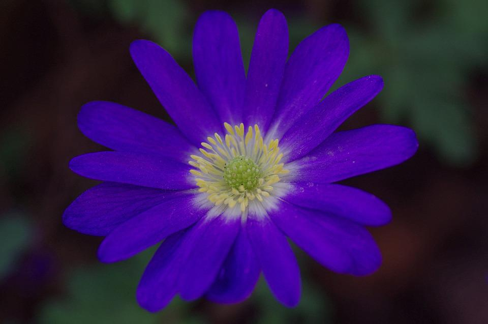 Anemone, Blossom, Bloom, Flower, Blue, Spring, Flowers