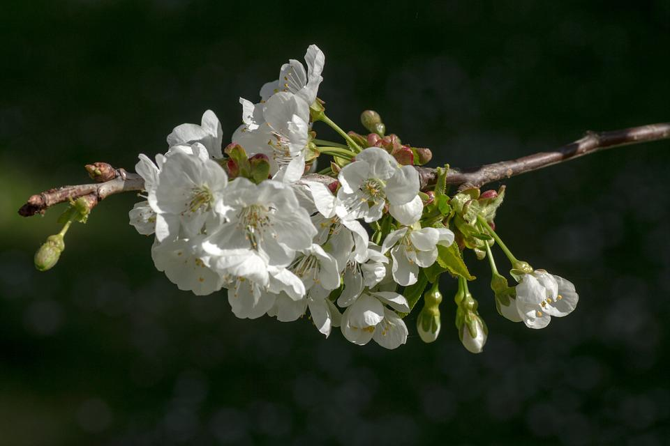 Spring, Blossom, Bloom, White, Close, Pear