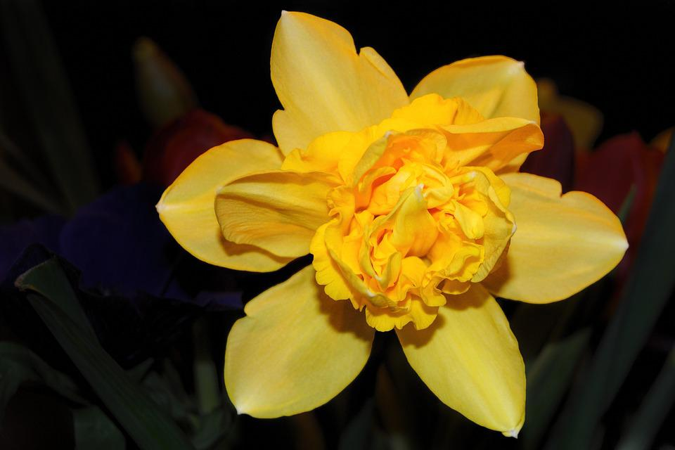 Blossom, Bloom, Yellow, Narcissus, Daffodil, Spring