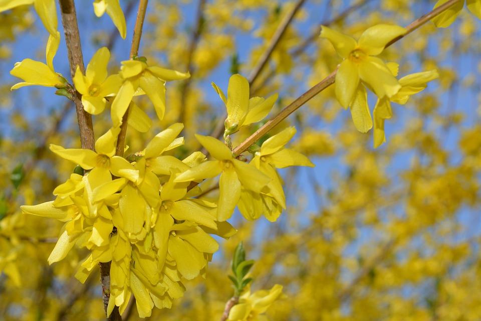 Spring, Bloom, Blossom, Nature, Bush, Flower, Plant