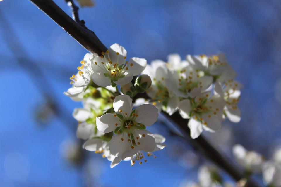 Bloom, Blossoms, White, Flowers, Spring