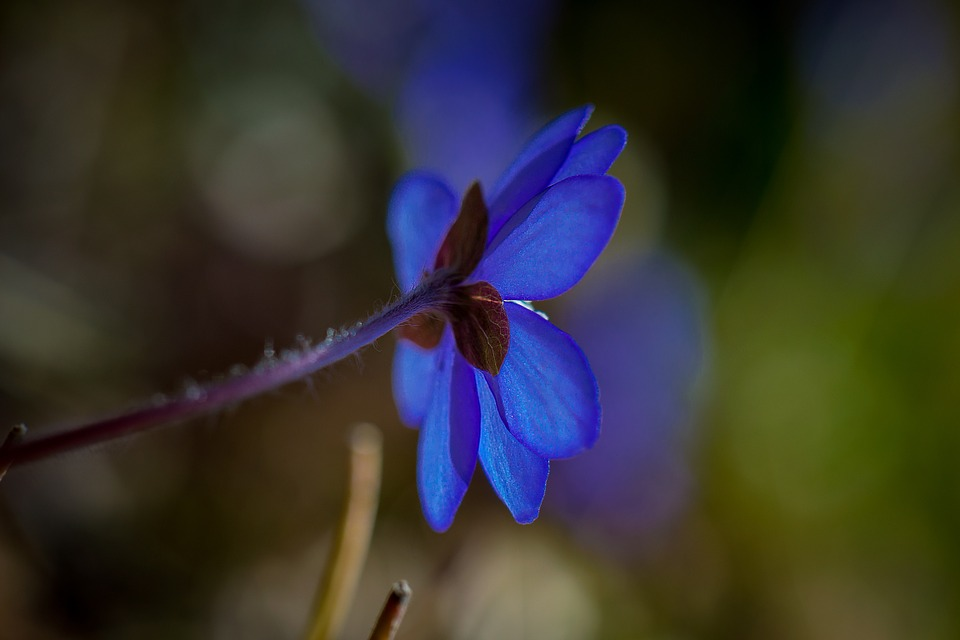 Hepatica, Spring, Flower, Blue
