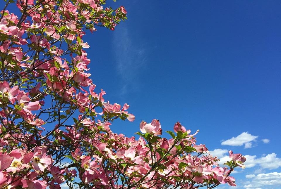 Dogwood, Blossoms, Spring, Sky, Pink, Blue, Bloom