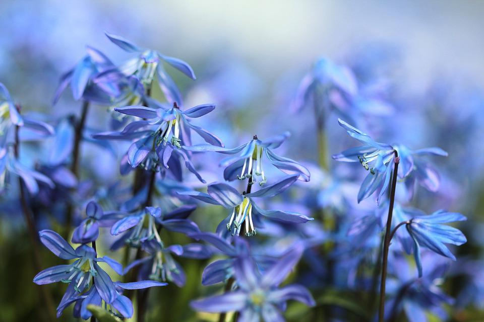 Bluebell, Flowers, Scilla, Spring, Blue, Purple, Bloom