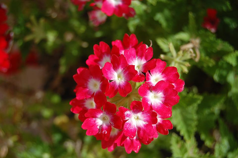 Geranium, Flower, Bouquet, Flowers, Nature, Spring