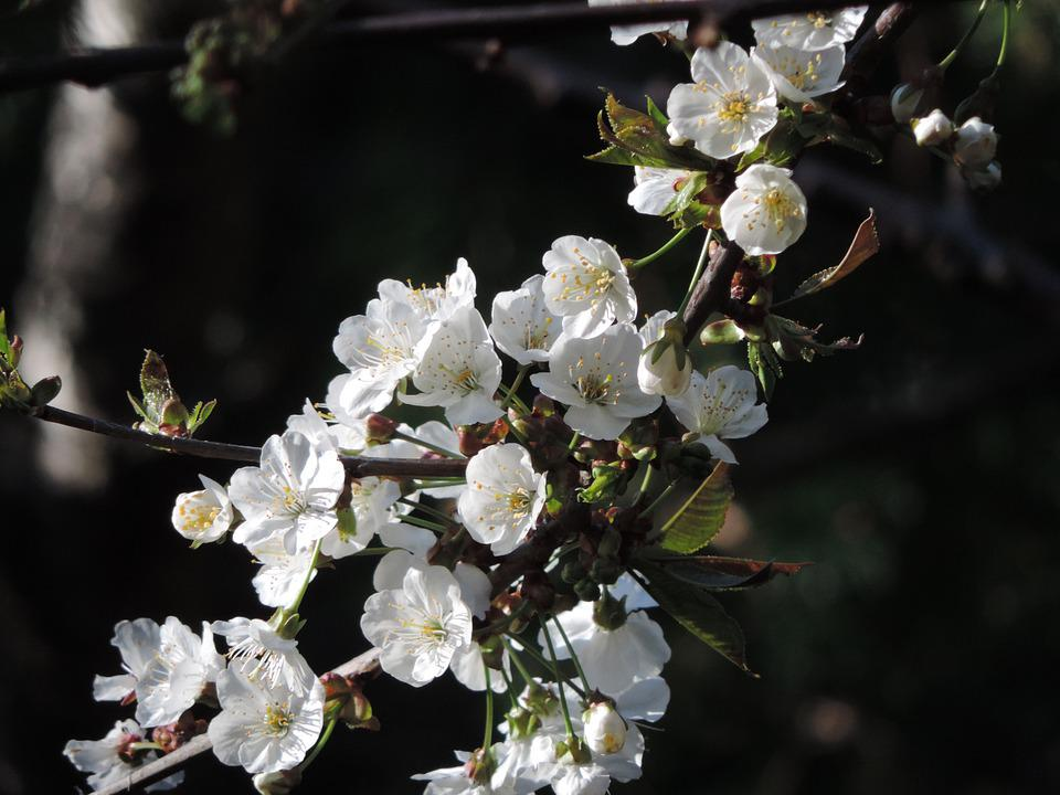 Apple, Blossom, Branch, Spring