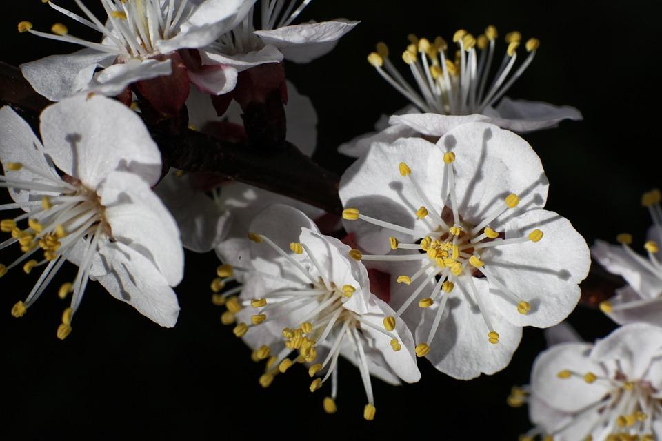 Cherry, Flower, Spring, Tree, Branch, Nature, Flowers