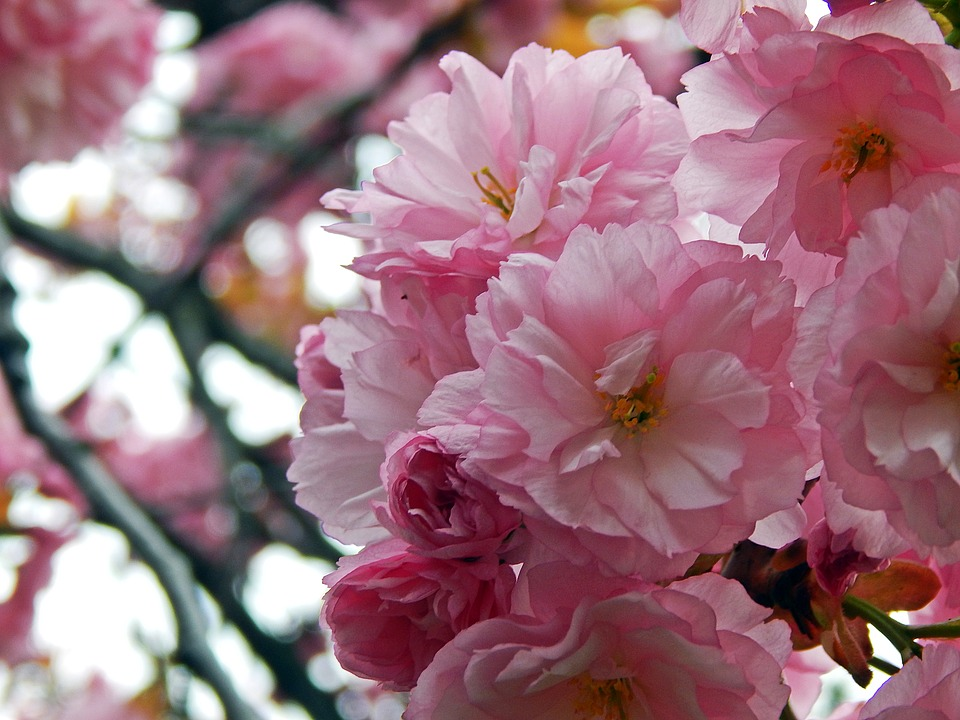 Flower, Plant, Branch, Cherry, Garden, Spring