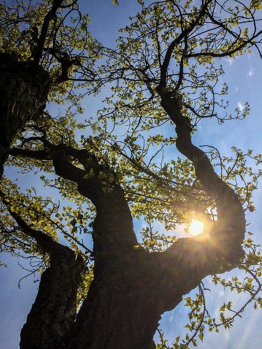 Spring, Poplar, Trees, Branch
