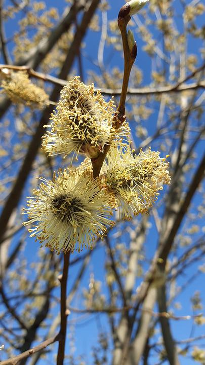 Willow, Branch, Blooming, Fluffy, Spring