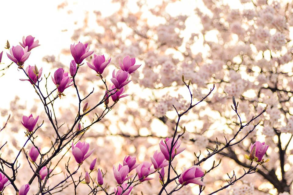 Magnolia, Branches, Blossom, Spring, Plant, Flowers