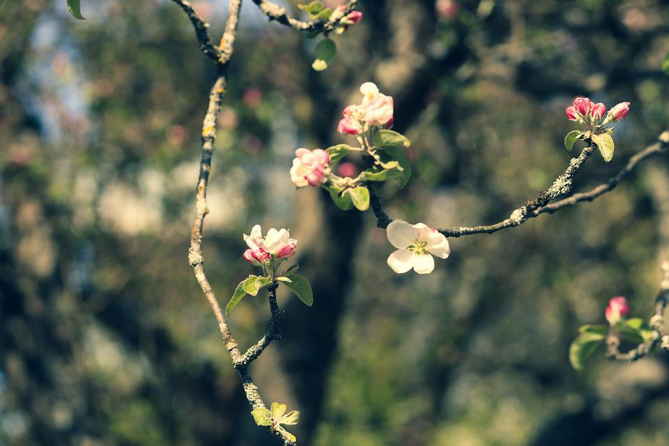 Apple Blossoms, Flowers, Branches, Tree, Spring