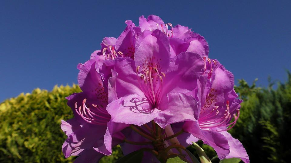 Rhododendron, Blossom, Bloom, Spring, Bud