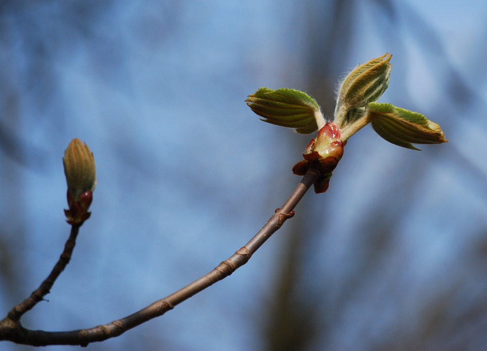 Wood, Bud, Spring, Nature, Chestnut