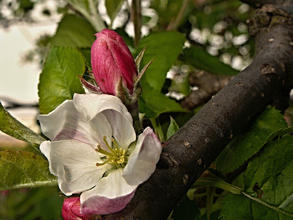 Apple Tree, Flower, Bud, Spring, Branch, Macro, Foliage