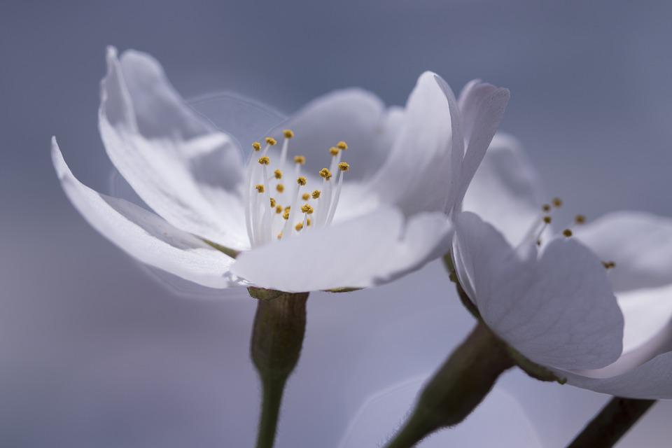 Cherry Blossom, Spring, Nature, Flowers, Buds, Sakura