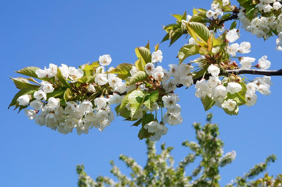 Cherry Blossom Tree Spring Flowering Trees White