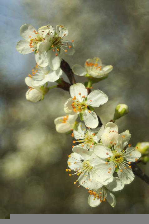 Sour Cherry, Flowers, Cherry, Flower, Spring, Garden