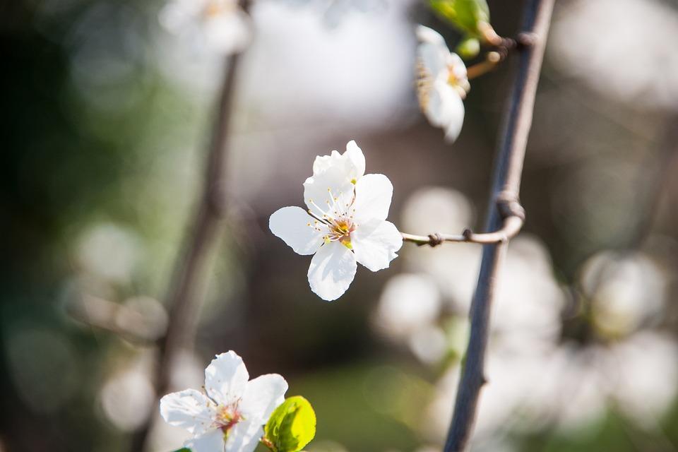 Cherry Blossom, Cherry, Blossom, Bloom, Spring, Tree