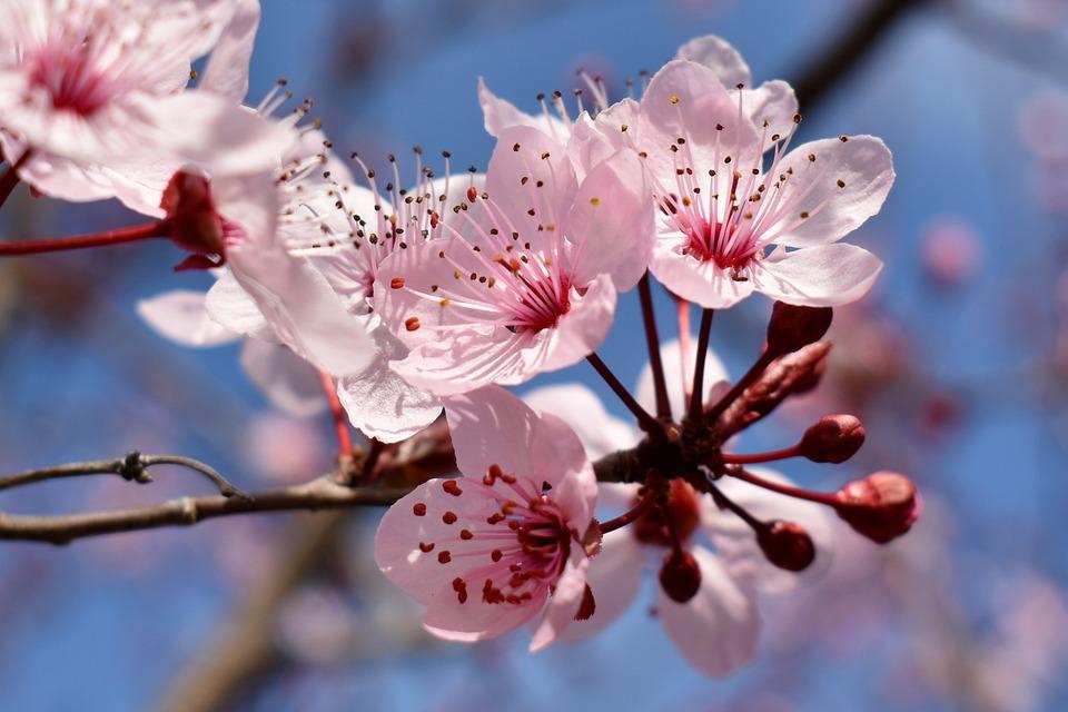 Flower, Cherry, Tree, Spring, Pink, Plant, Flora, Bloom