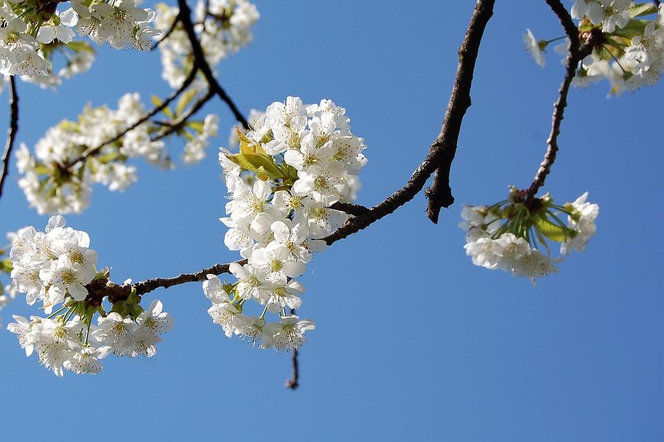 Spring, Cherry Tree, Cherry Blossom, Springtime, Season