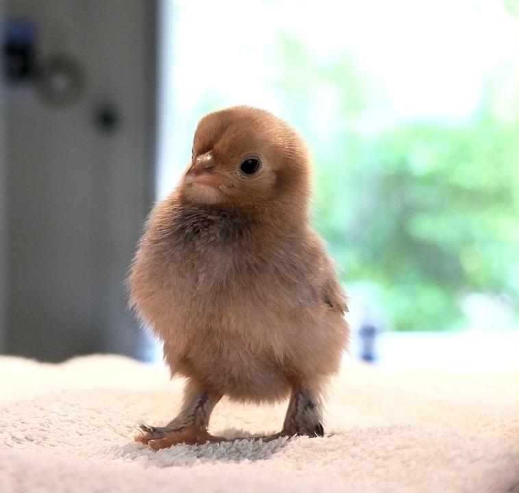 Chick, Spring