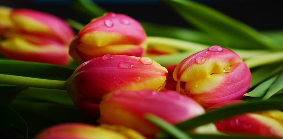 Free photo spring close flamed spring flower flowers tulips max pixel tulips spring flowers flamed spring flower close mightylinksfo