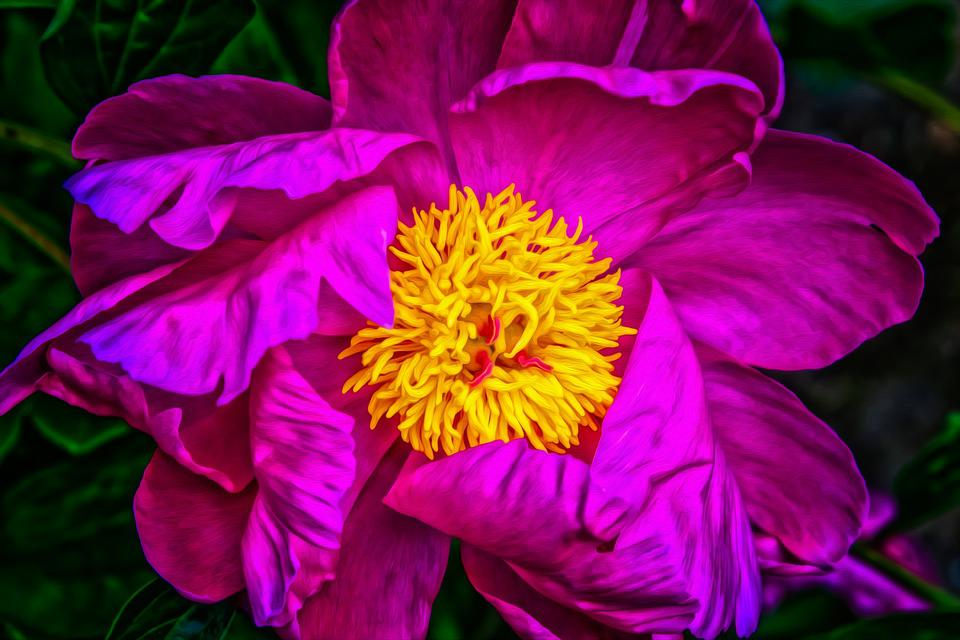 Flower, Rose, Peony, Blossom, Bloom, Colorful, Spring