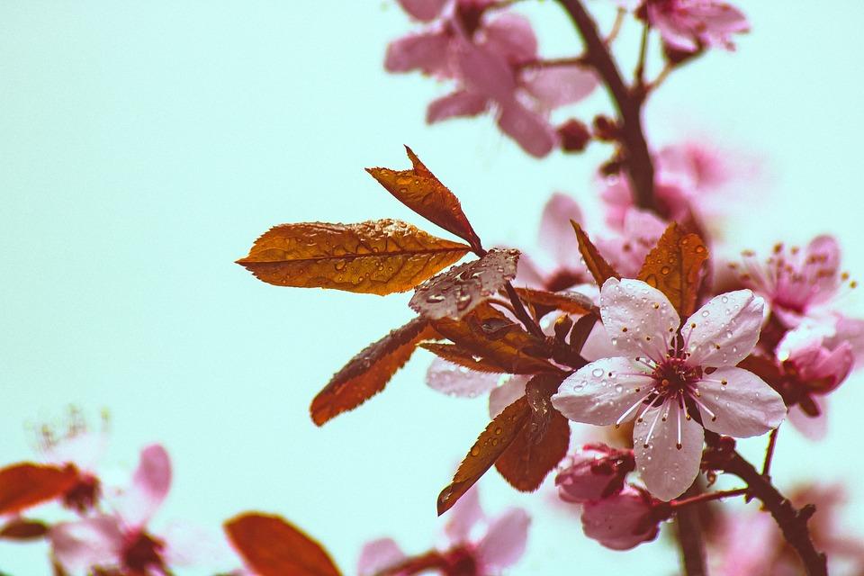 Copper Beech, Spring, Bloom, Tree, Branch, Beech, Color