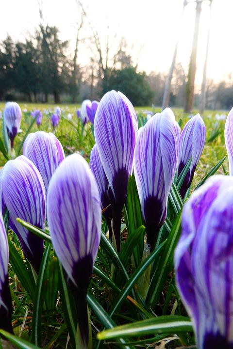 Flower, Spring, Blossoms, Purple, Crocus
