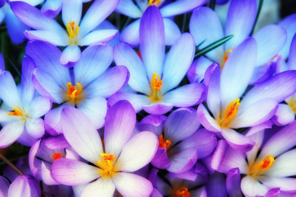 Crocus, Spring, Early Bloomer, Flowers, Light Blue