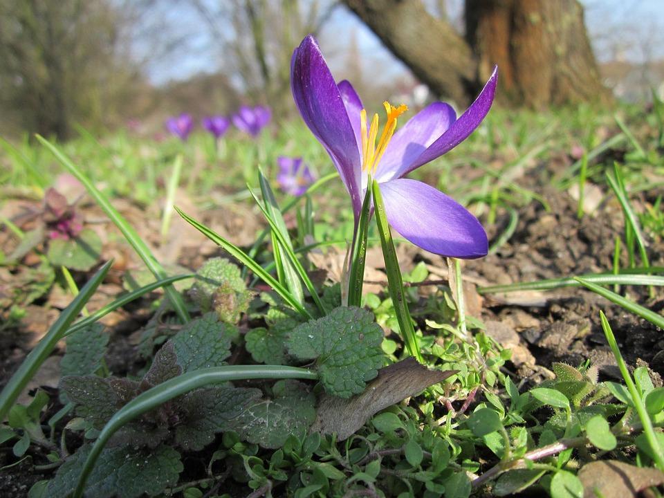Crocus Vernus, Spring Crocus, Giant Crocus, Wildflower