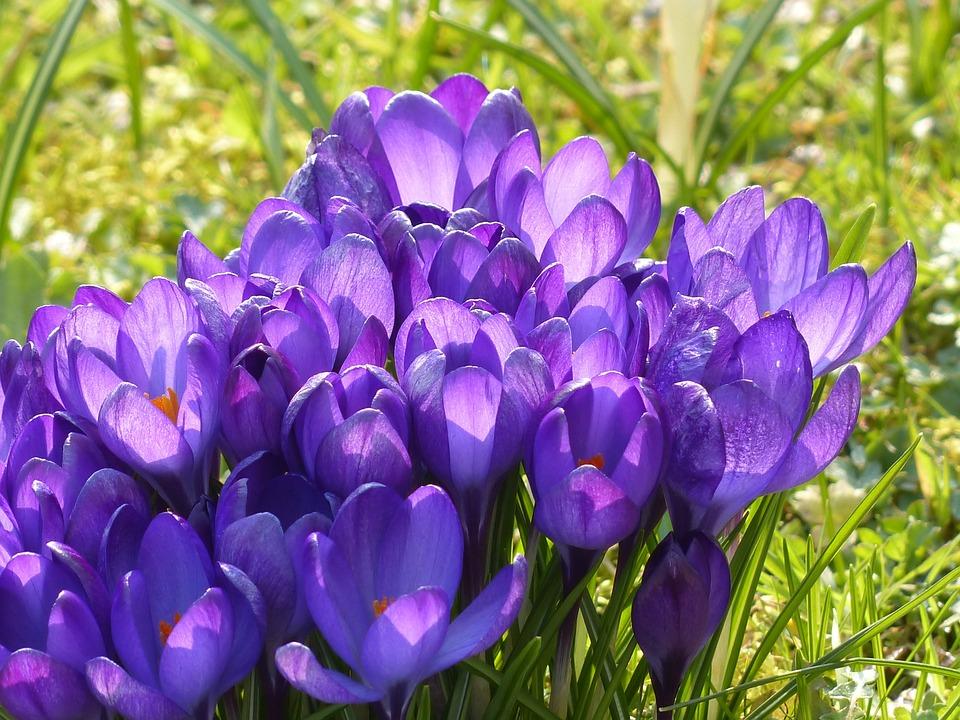 Flowers, Crocus, Meadow, Crocus Vernus, Spring Crocus