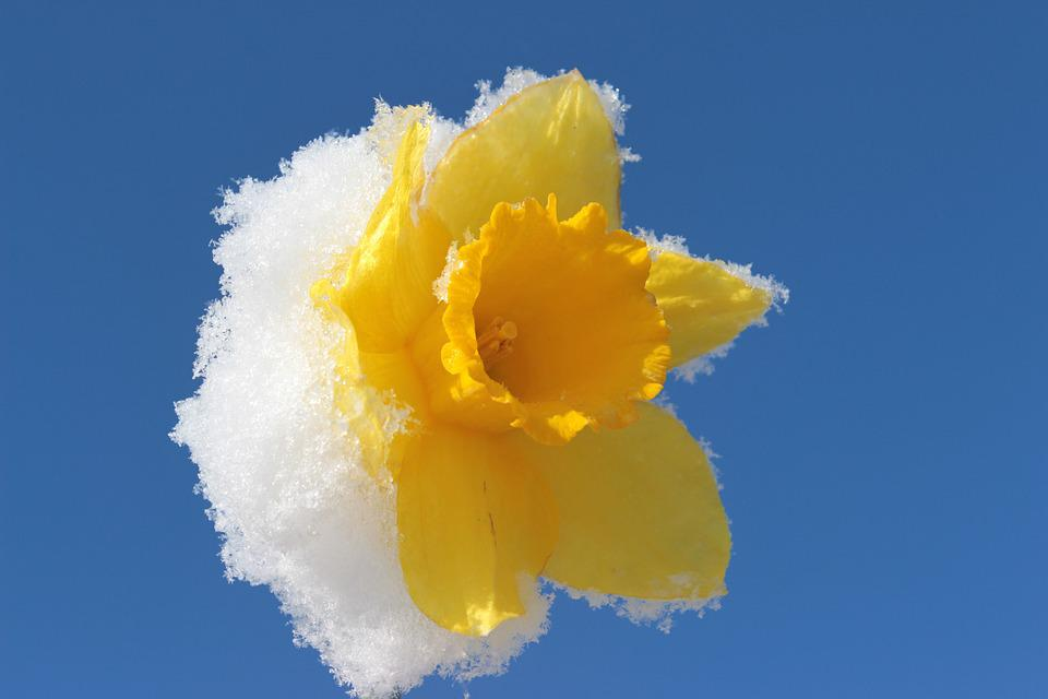Narcissus, Blossom, Bloom, Daffodil, Spring, Yellow