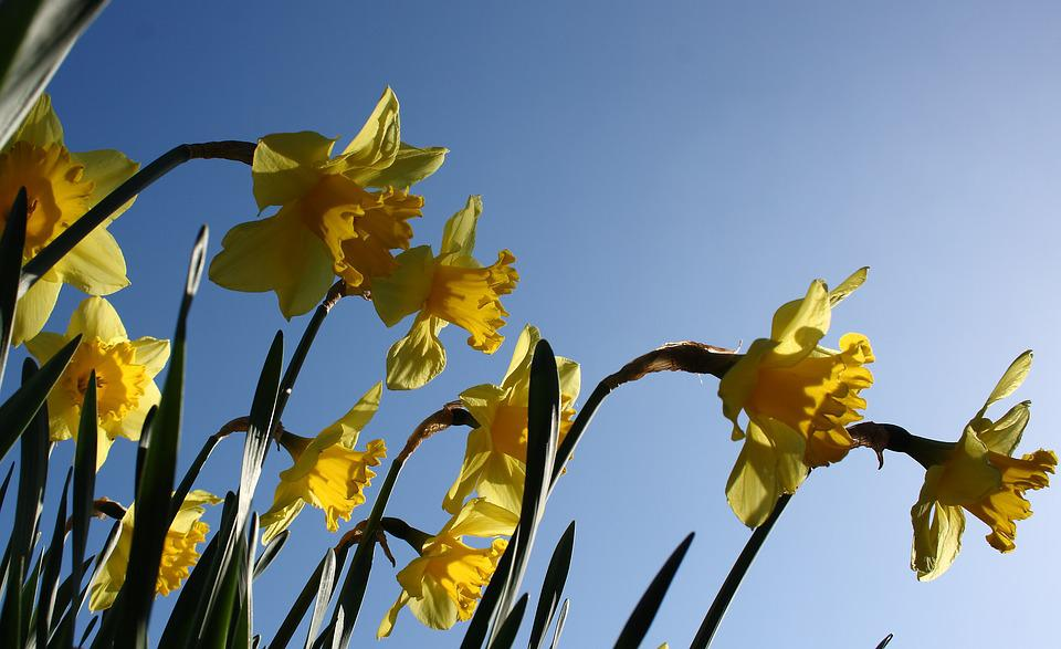 Daffodil, Flower, Spring, Yellow, Colorful