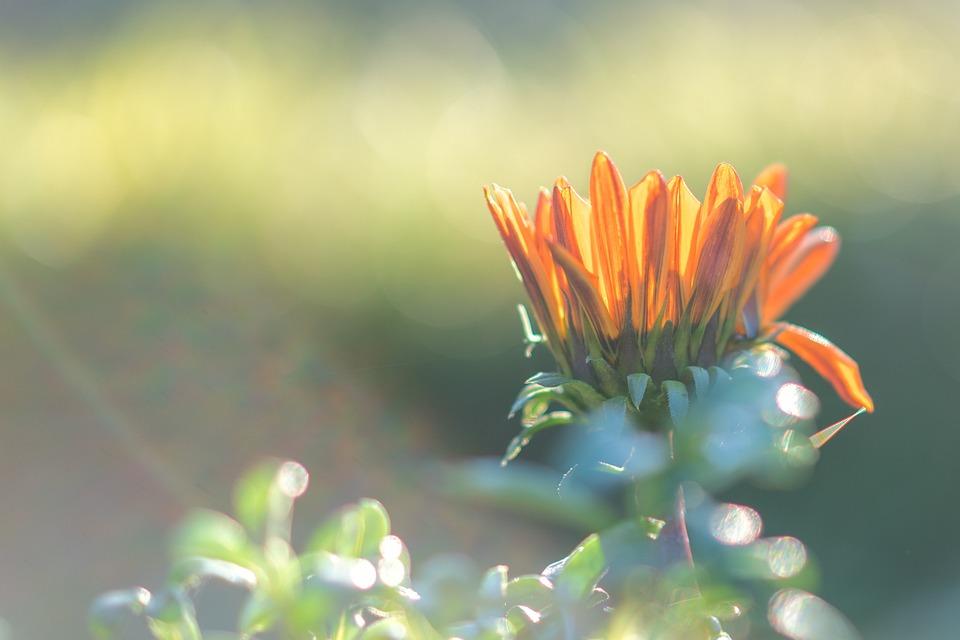 Daisy, Flower, Plant, Spring, Bloom, Flora, Meadow