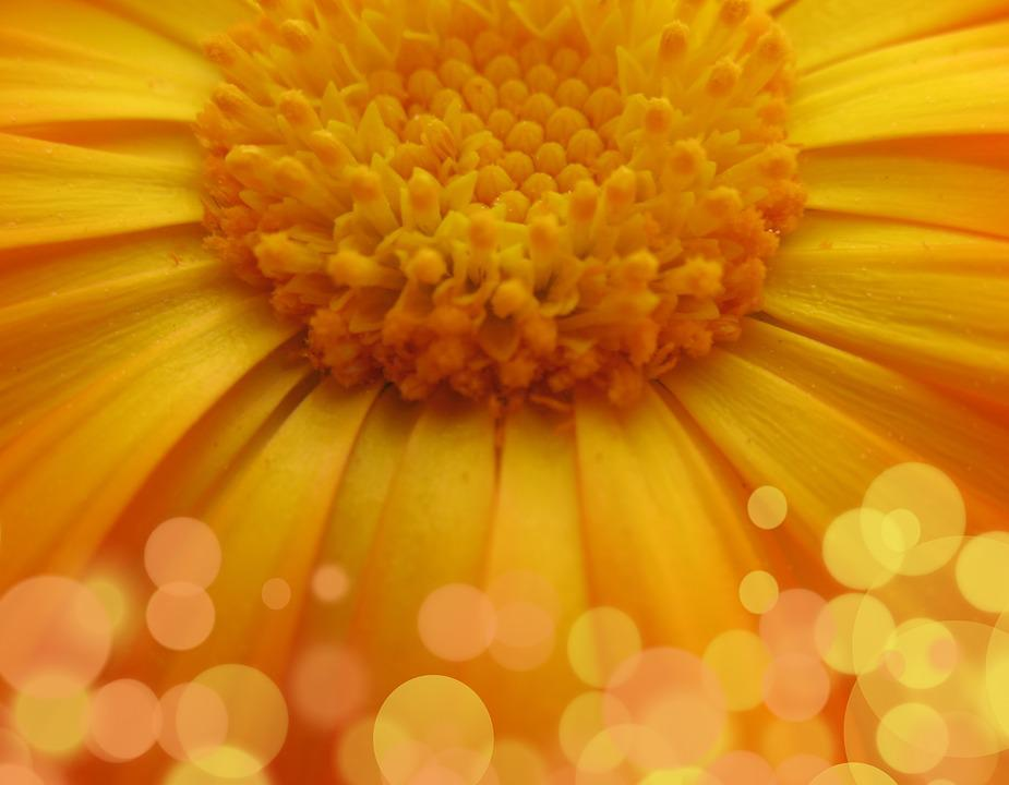 Flower, Daisy, Macro, Yellow, Bokeh, Floral, Spring