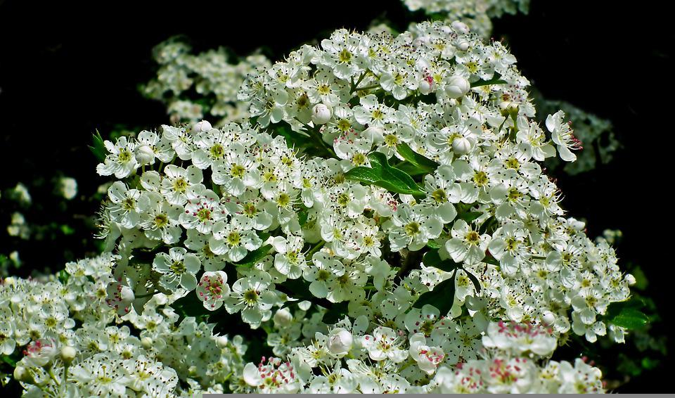 Flowers, Damson, Plum, Spring, Nature, Plant, Garden