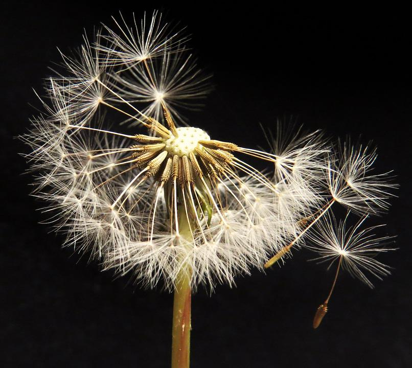 Dandelion Blowing, Seed Head, Spring, Seeds, Weed