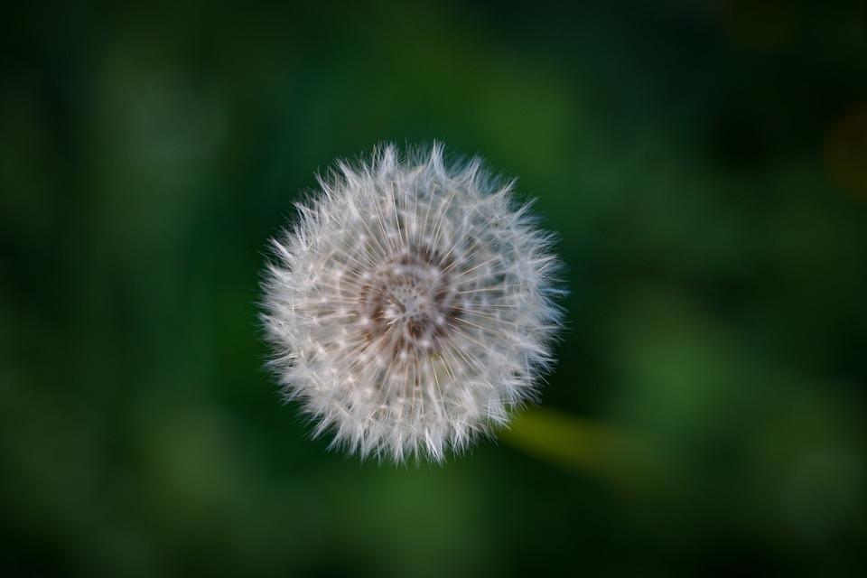 Dandelion, Seeds, White, Green, Meadow, Summer, Spring