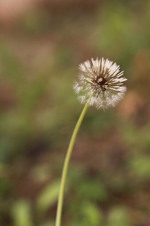 Dandelion, Dandelion Seeds, Mr Hall, Spring, Flowers