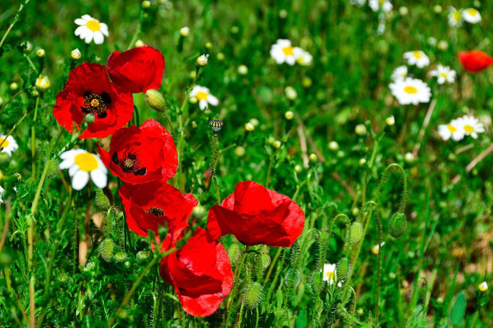 Poppies, Wild, Spring, Deep Red
