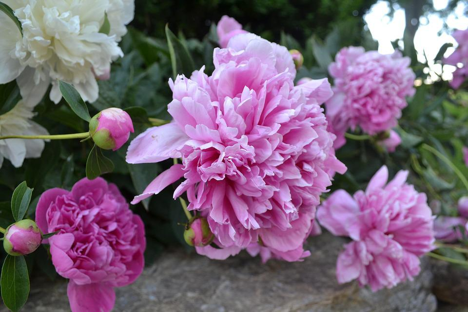 Free photo spring earth day flowers peonies max pixel peonies earth day flowers spring mightylinksfo