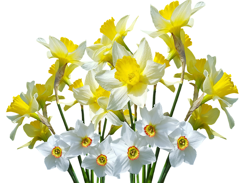 Free Photo Spring Easter Spring Flowers Osterglocken Daffodils Max