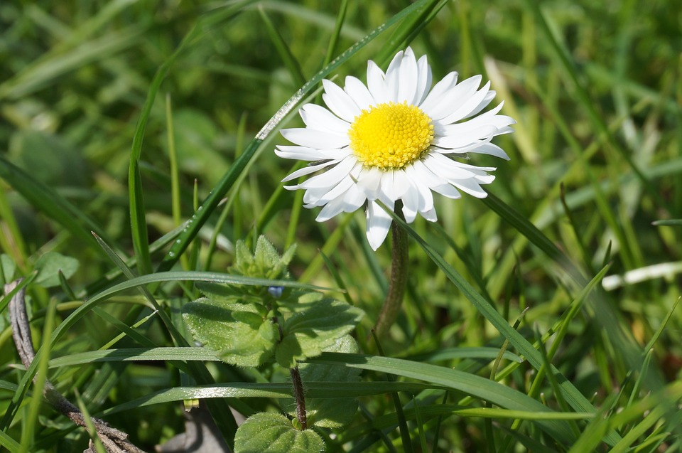 Daisy, Simple, Sunny, Bloom, Floral, Spring, Natural
