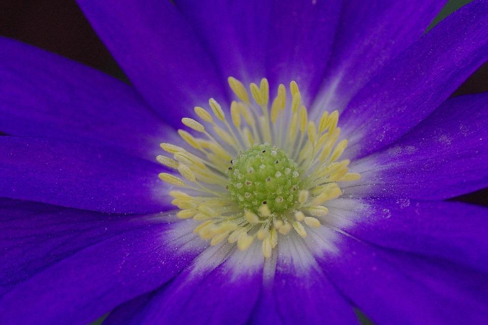 Anemone, Blossom, Bloom, Flower, Blue, Spring, Flowers