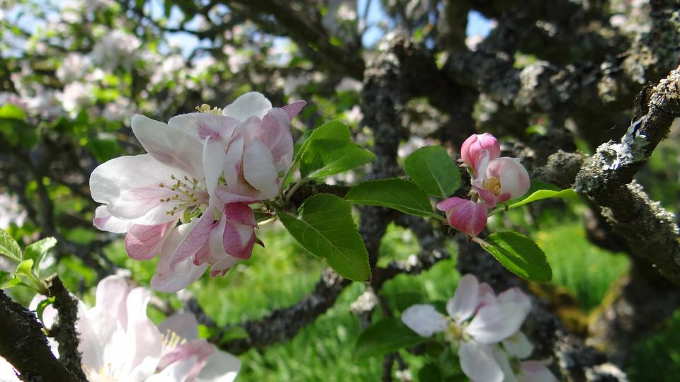 Blossoms, Apple, Apple Blossoms, Spring, Spring Flower
