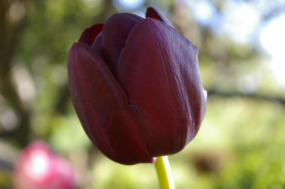 Black, Tulip, Flower, Spring