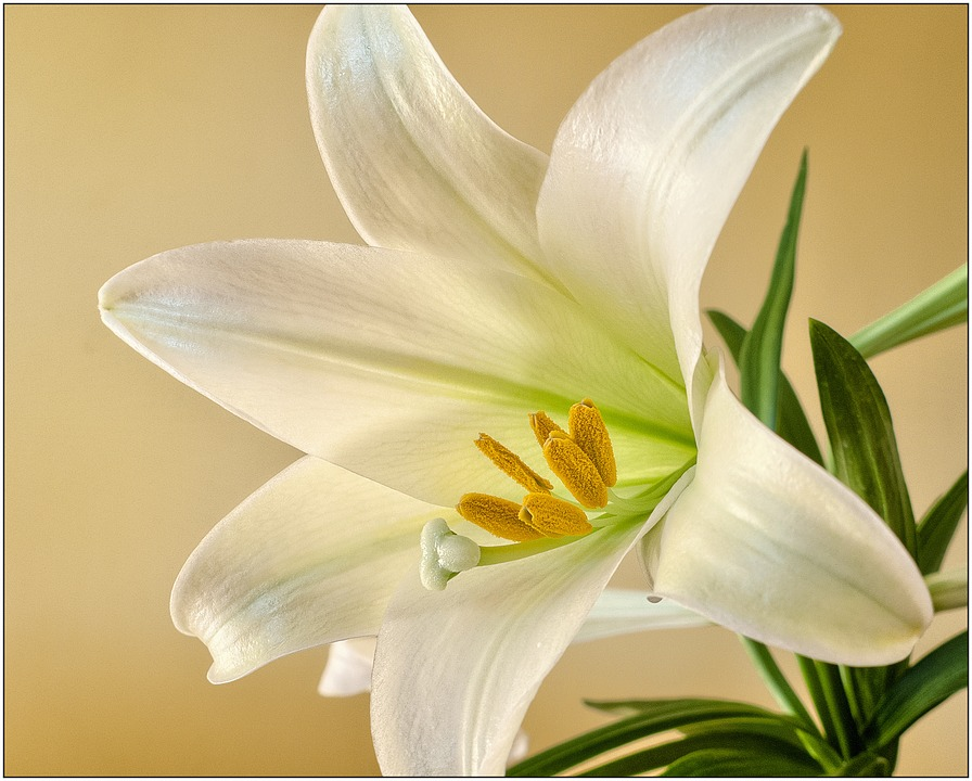 Easter, Lily, Flower, Spring, Plant, Bloom, White