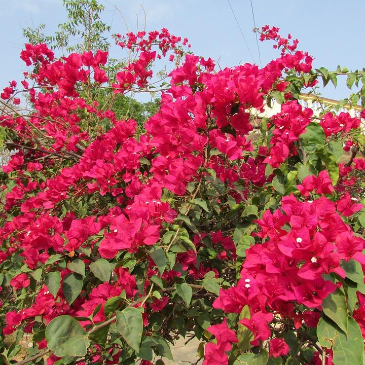 Bougainvillea, Flower, Bloom, Spring, Floral, Blossom
